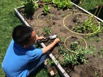 Planting a tomato